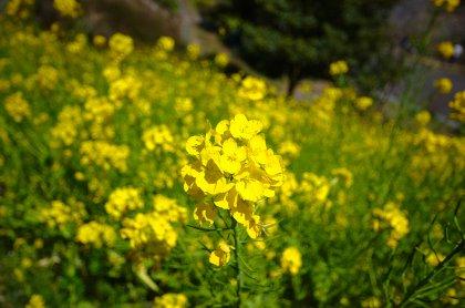 金沢自然公園の菜の花 拡大