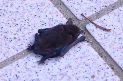 アブラコウモリの画像 p1_10